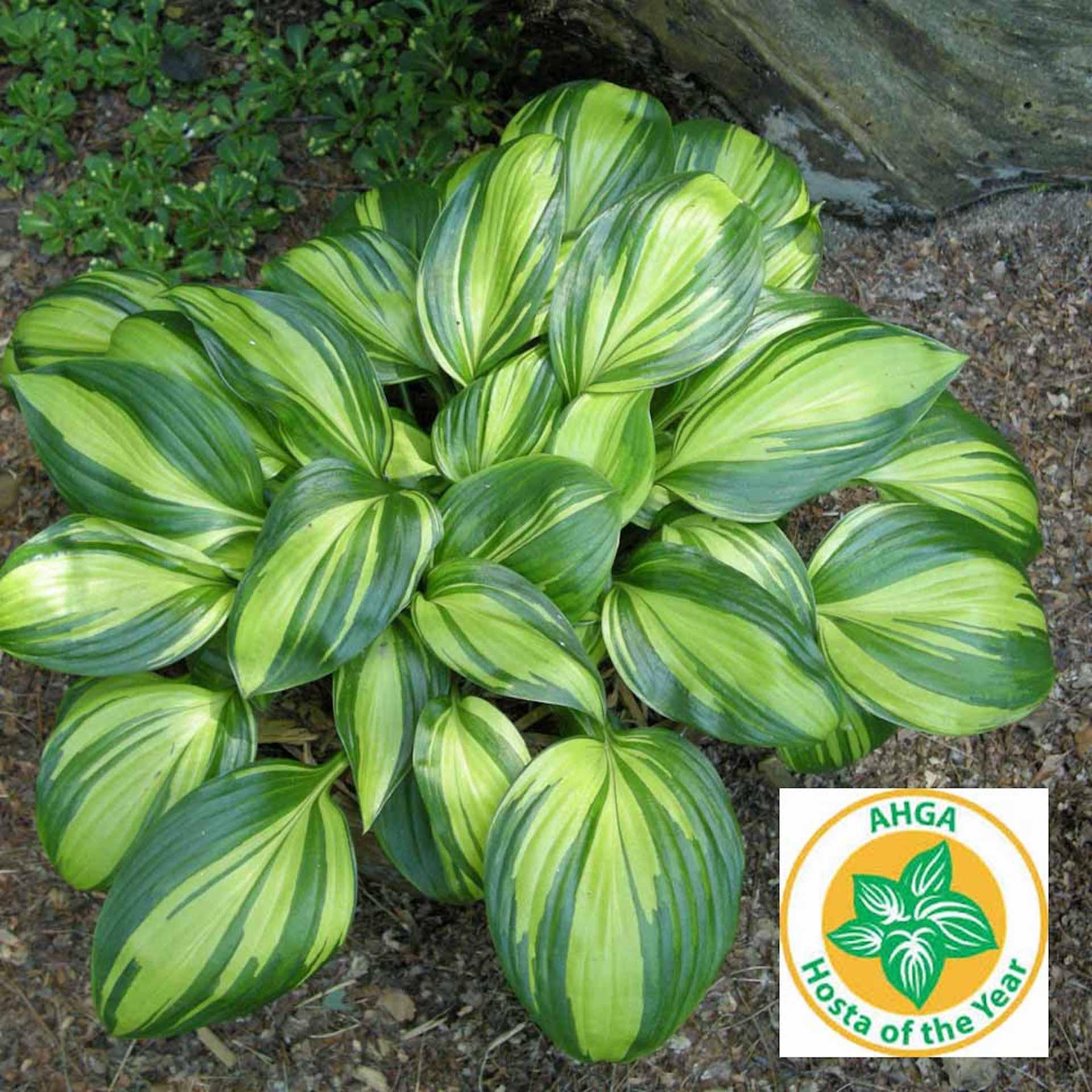 Hosta aux larges feuilles vert foncé fortement rayées de jaune chartreuse, porte le logo Hosta de l'année.