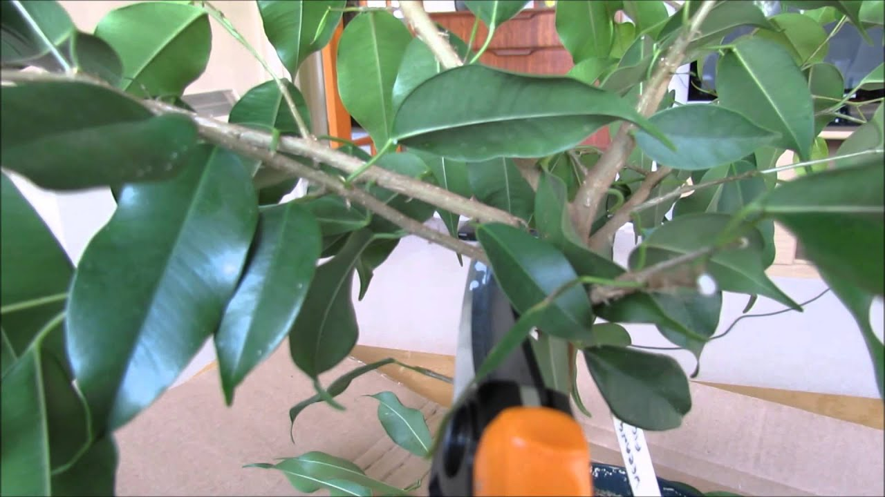 Suppression d'une branche de ficus.