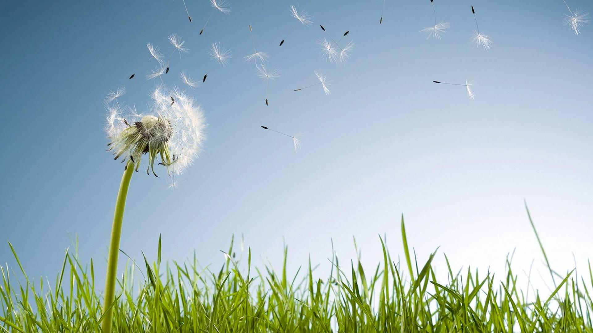 Graines de pissenlit transportées par le vent