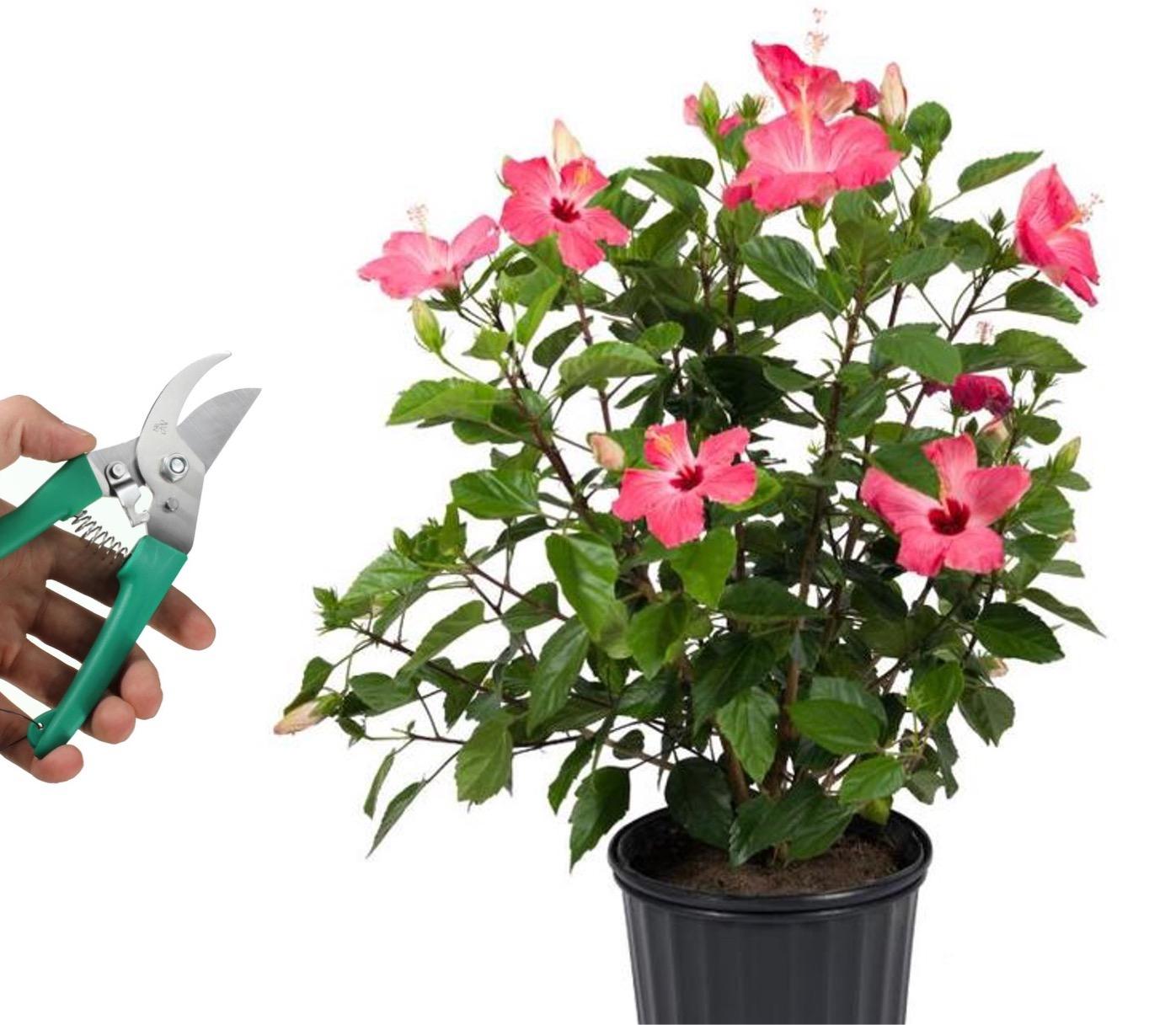 Plante d'hibiscus à fleurs roses, main tenant un sécateur.