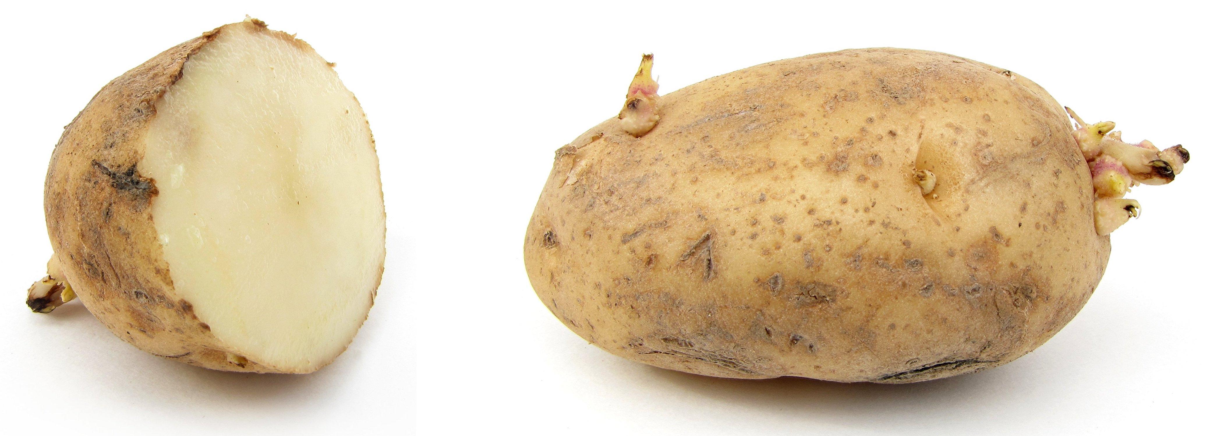 Pommes de terre avec germes, une coupée en deux.