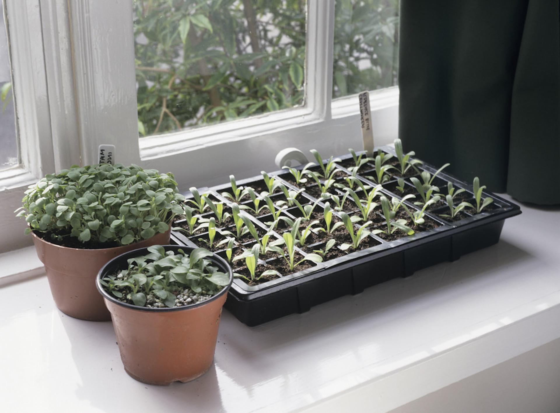 Semis poussant dans des plateaux et des pots sur un rebord de