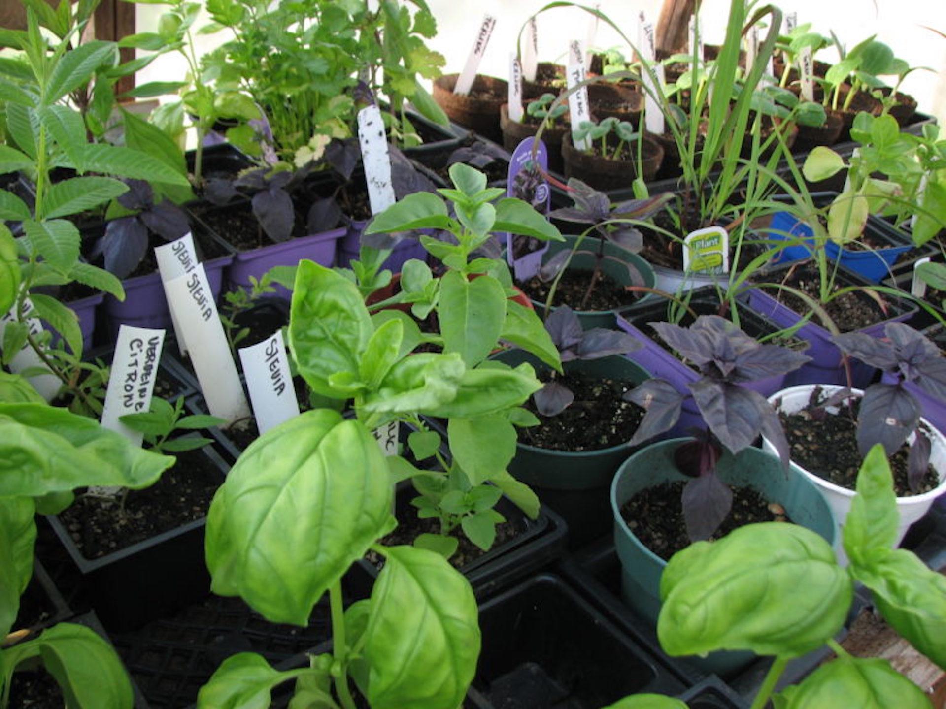 Semis de fines herbes avec étiquettes blanches