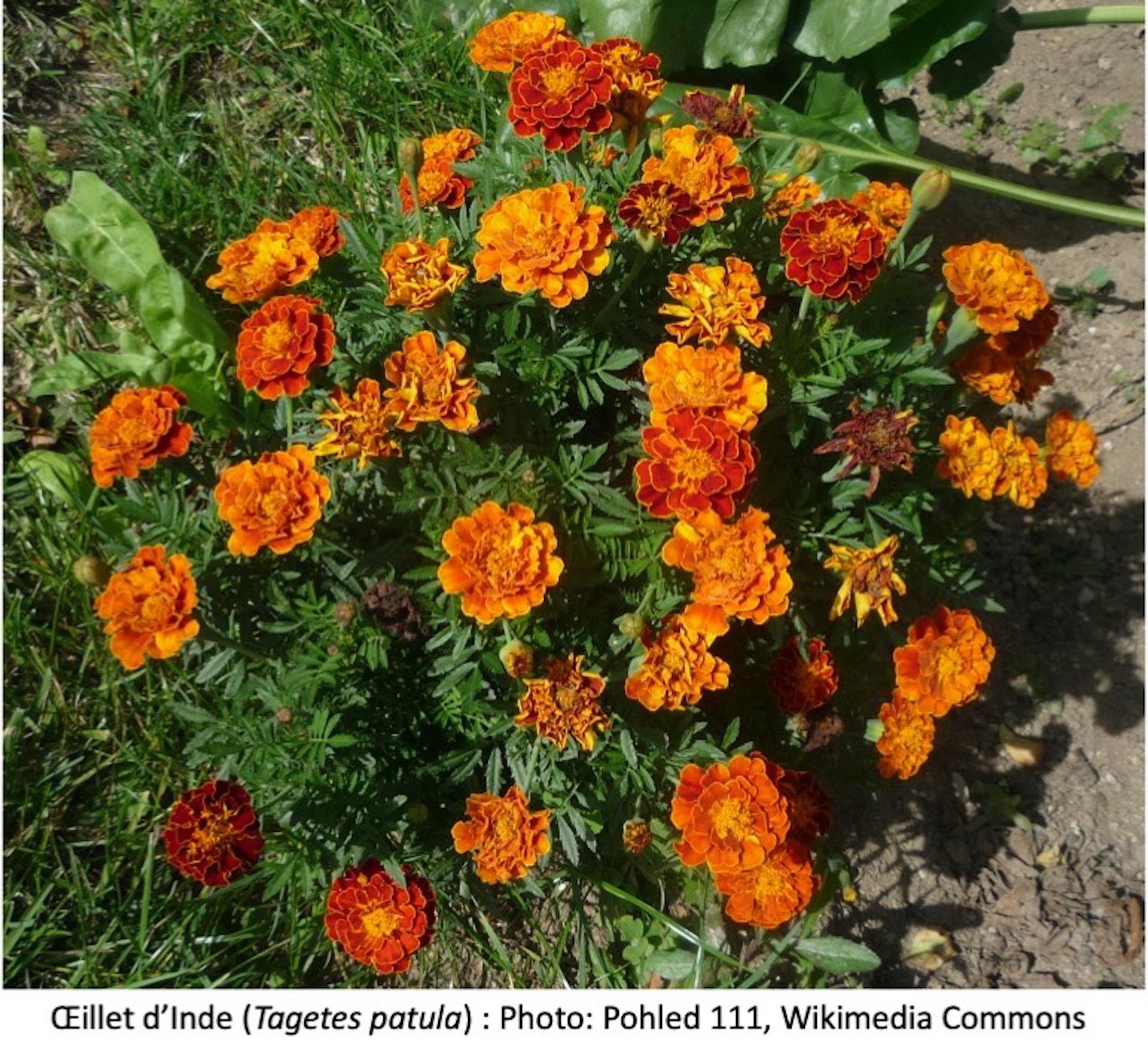 Oeillet d'Inde à fleurs orange