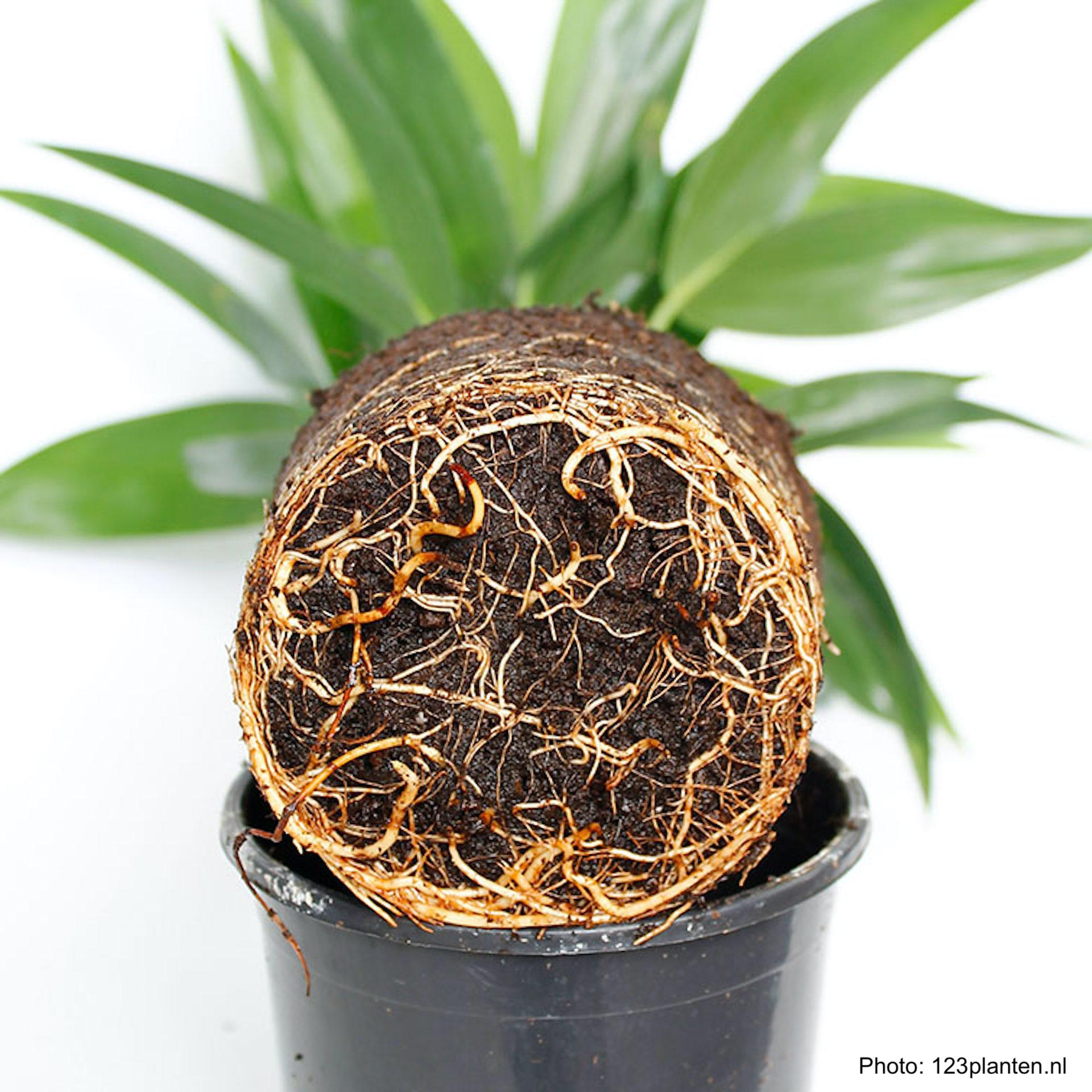 Plante d'intérieur dépotée, montrant ses racines.