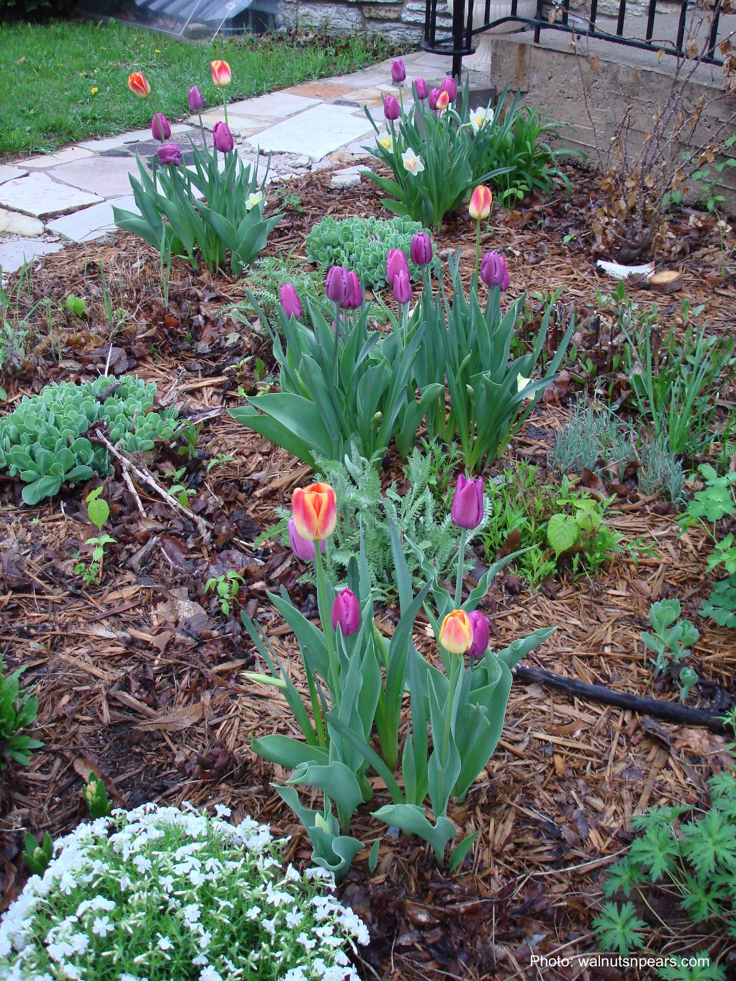Plate-bande avec tulipes et narcisses