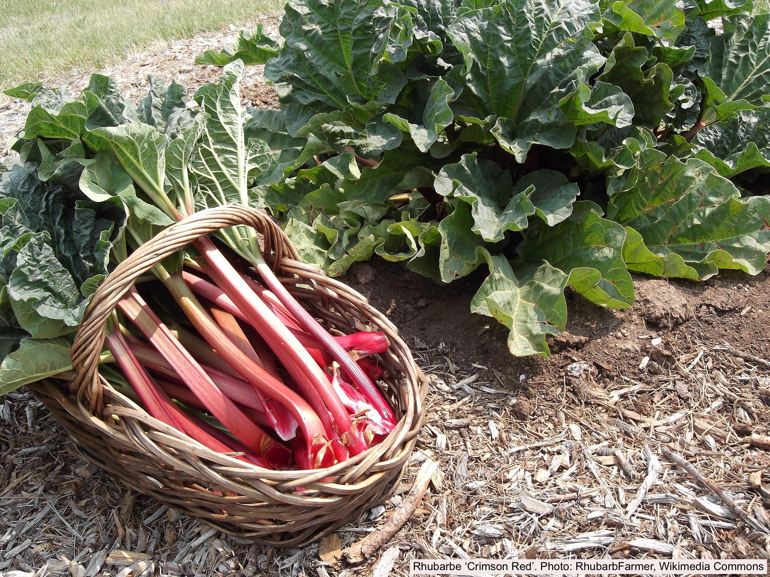 Pétioles de rhubarbe rouge dans un panier et aussi plante de rhubarbe
