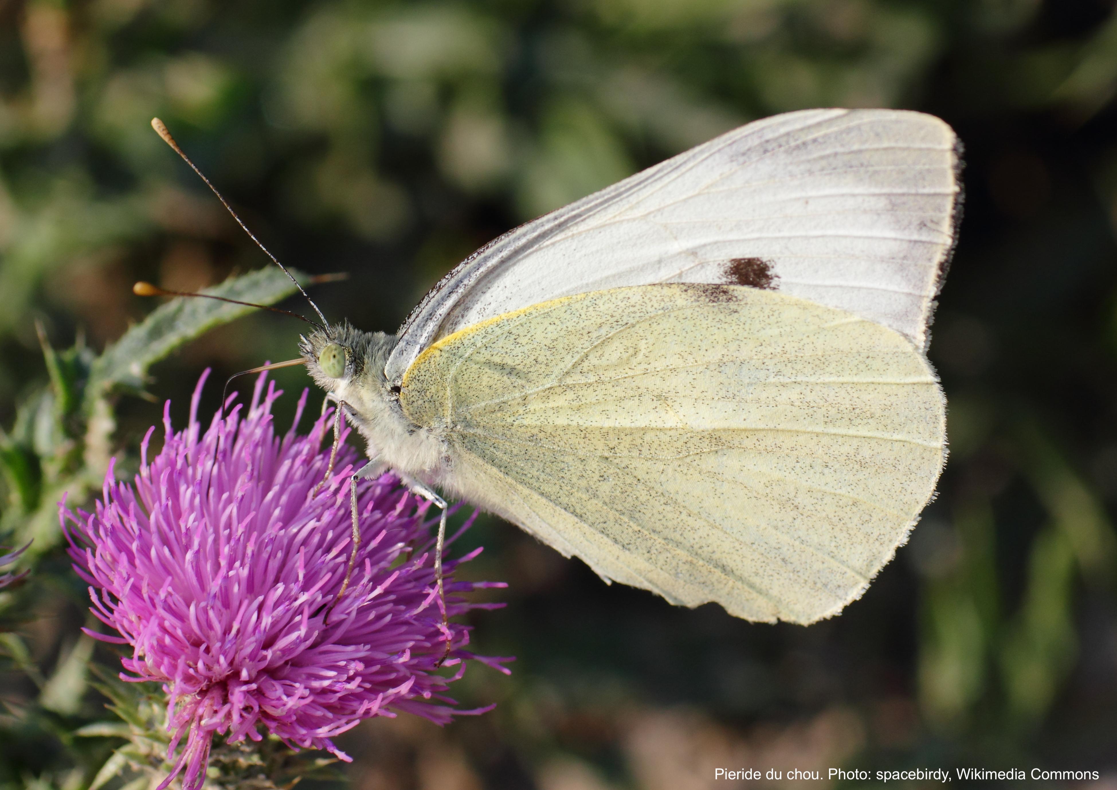 Pieride du chou (papillon blanc) sur une fleur.
