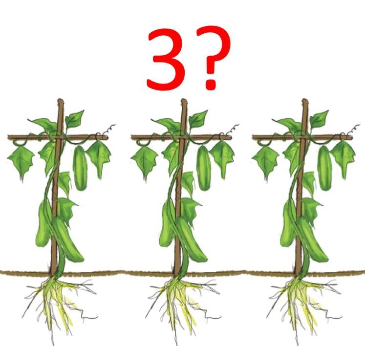 3 plants de concombre