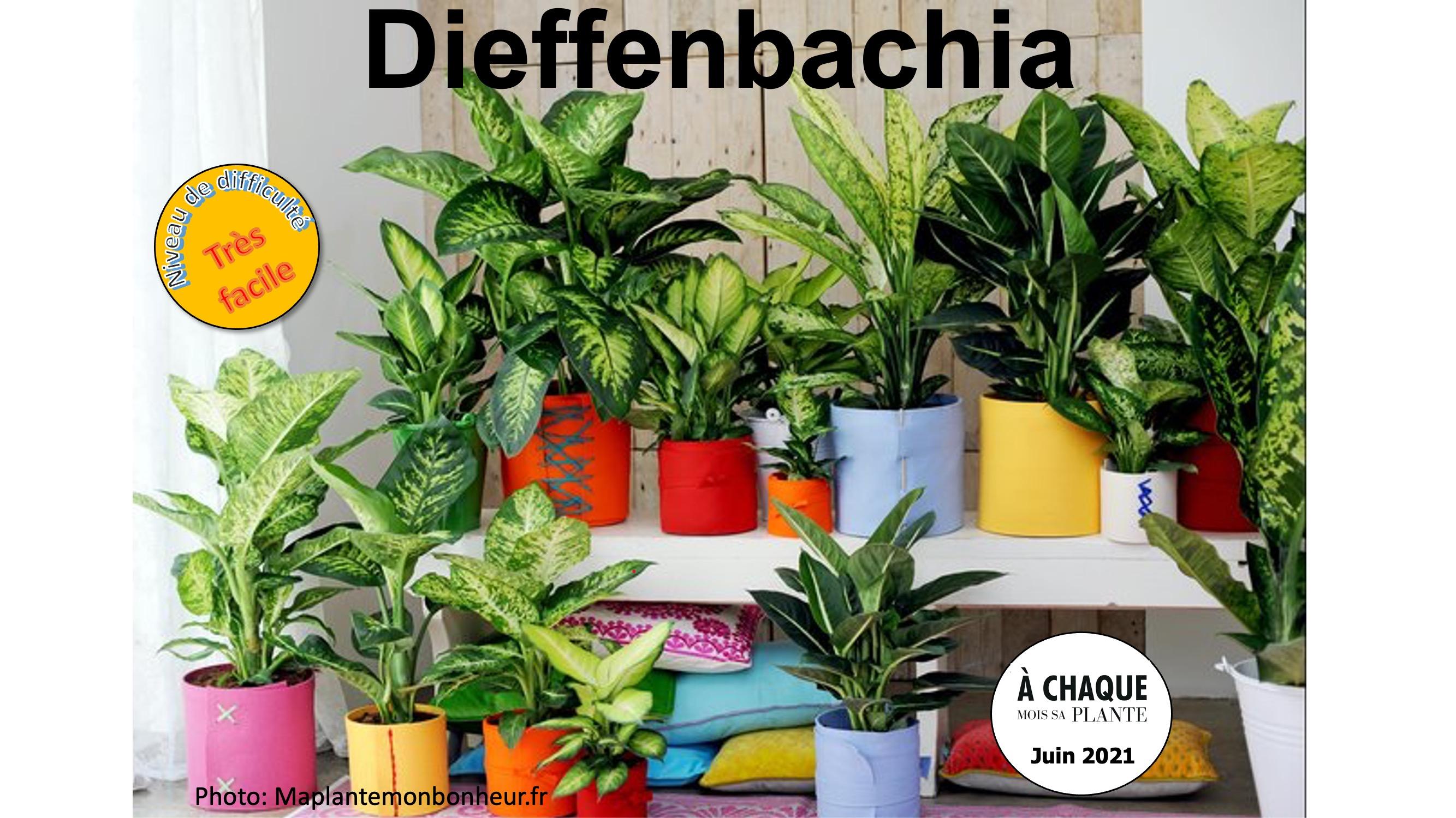 Assortiement de différents dieffenbachias sur 2 niveaux.