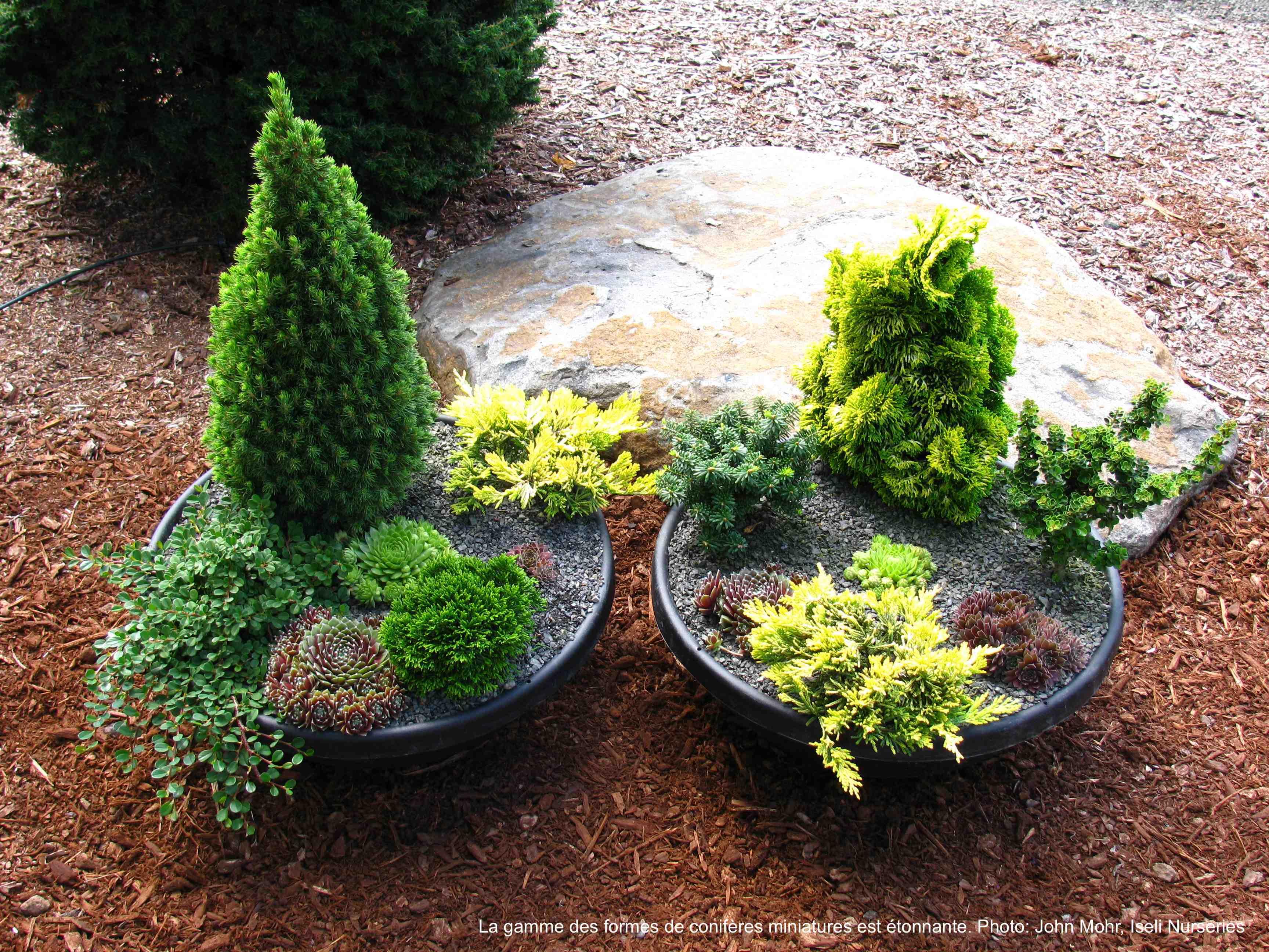 Deux jardins de conifère miniature en pot.