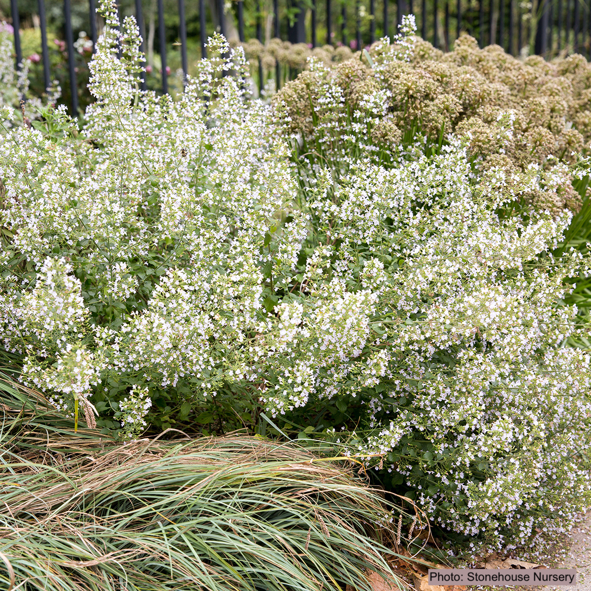 Calament népéta à petites fleurs blanches