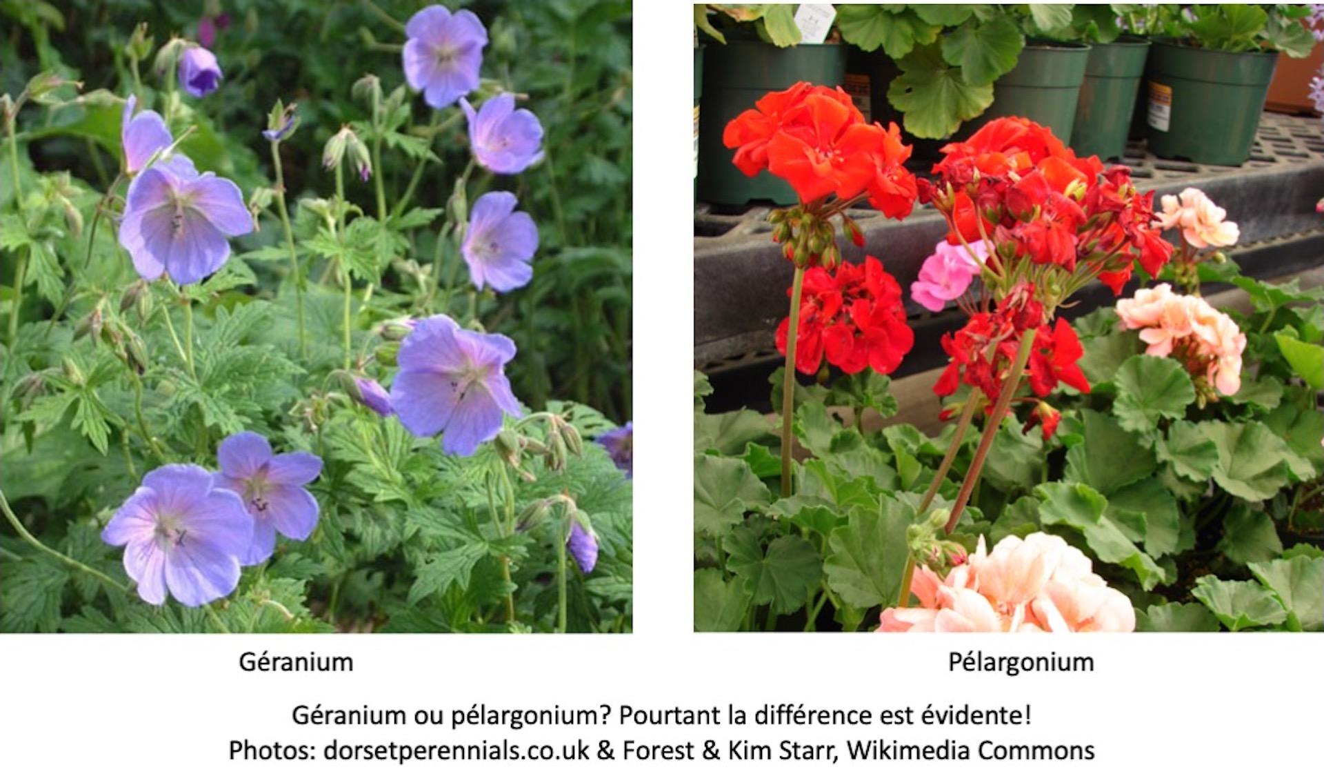 Géranium à fleurs bleu violet, pélargonium à fleurs rouges.