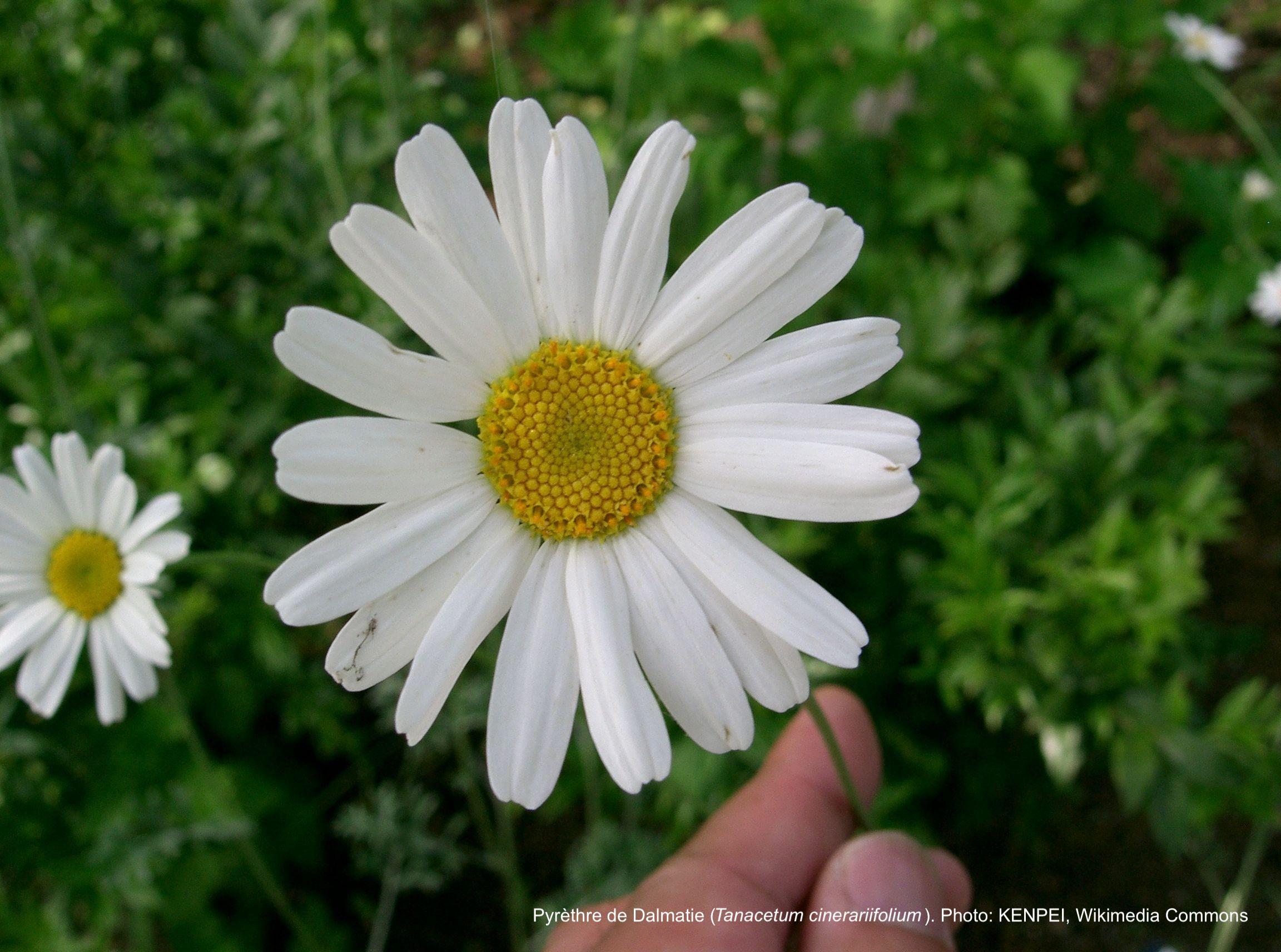 Fleur de pyrèthre de Dalmatie.