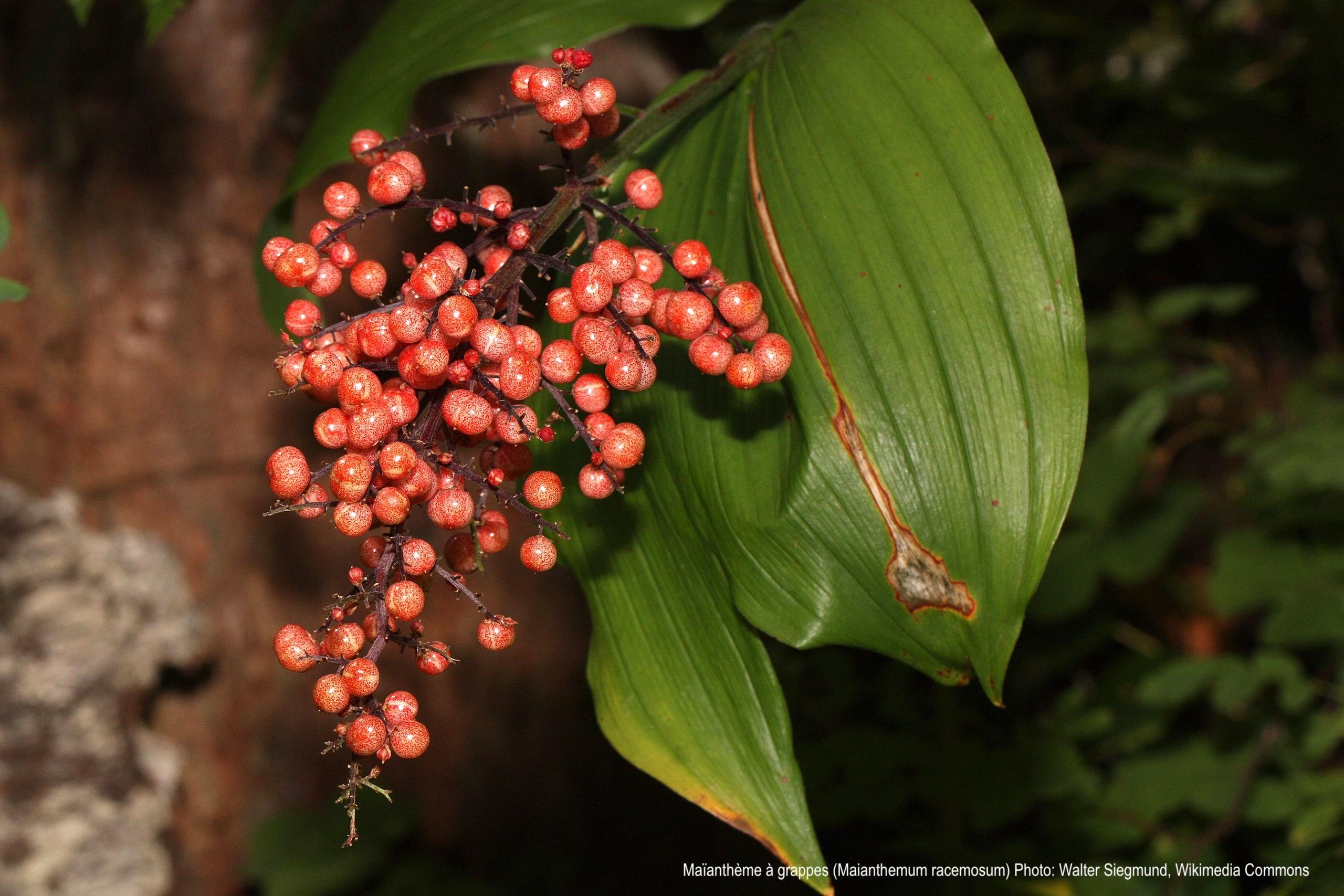 Maianthemum racemosum en fruits