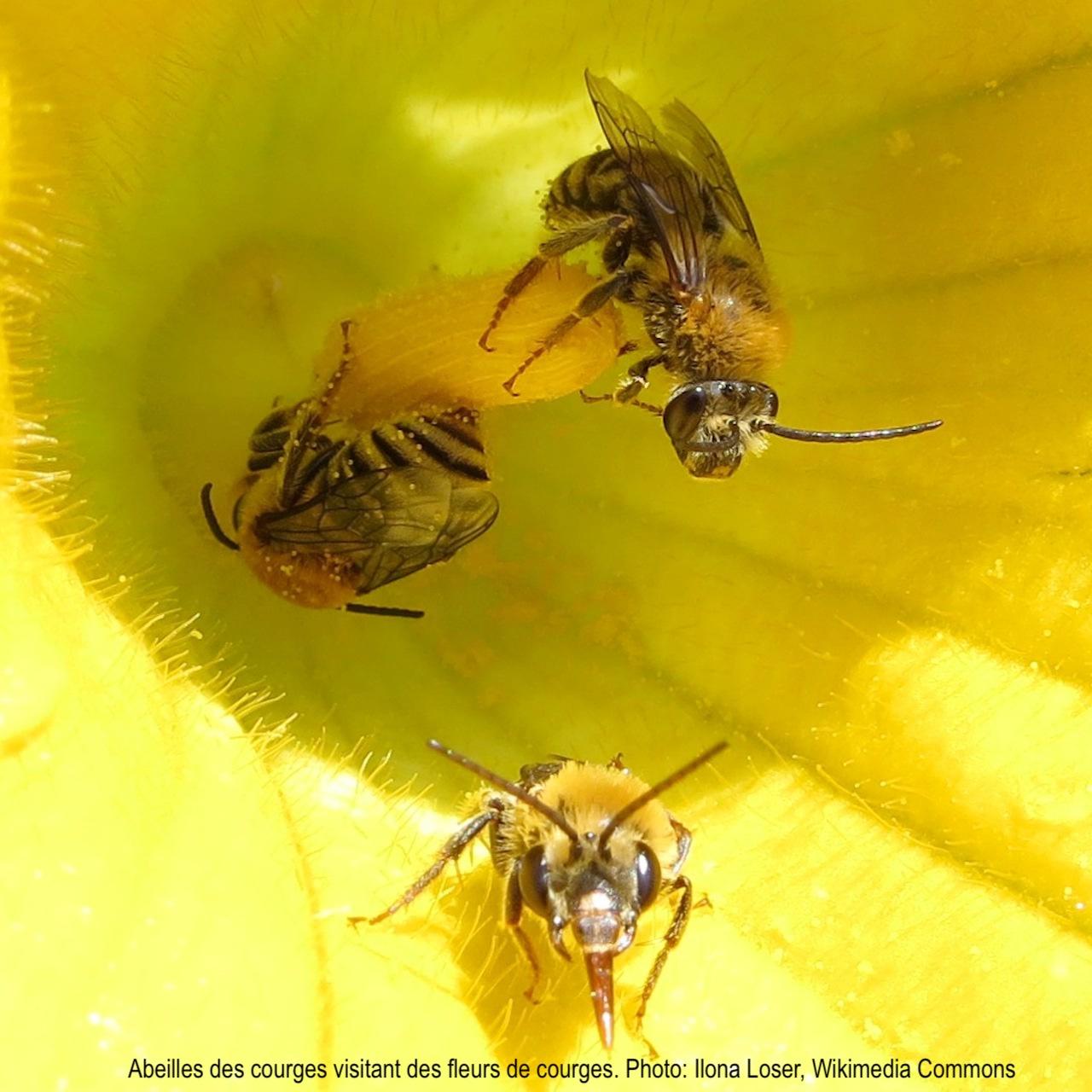 Trois abeilles des courges mâles visitant une fleur de courge jaune.