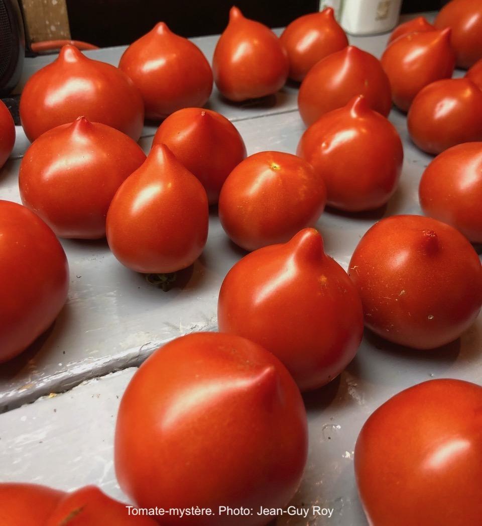 Tomates rouges avec une pointe à l'extrémité.