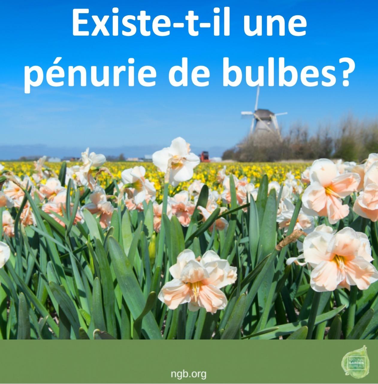 Champs de narcisses en Hollande.