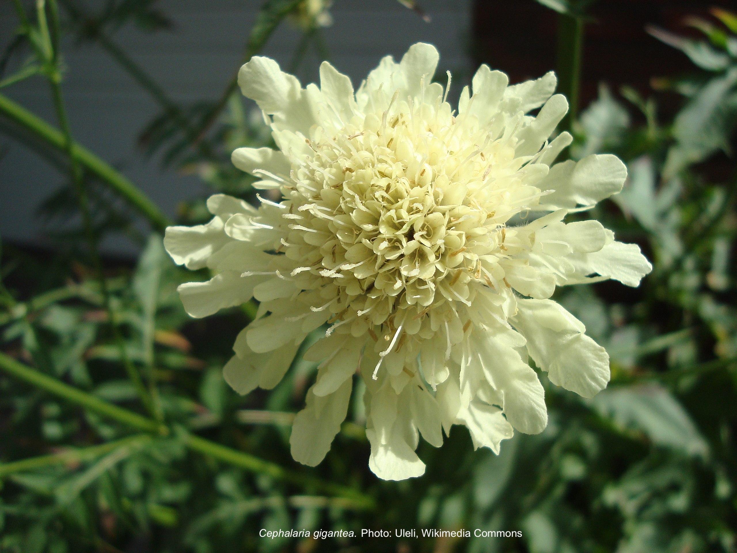 Fleur jaune pâle de céphalaire géante.