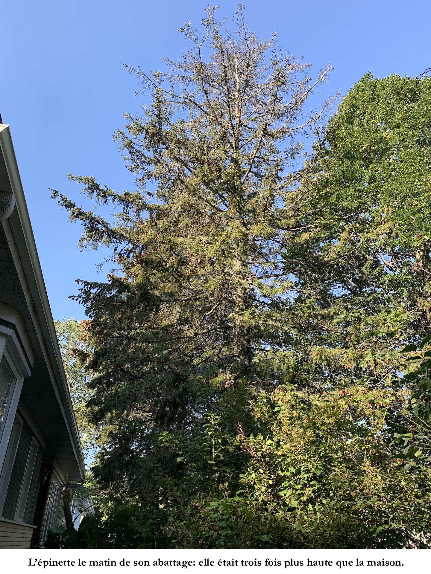 Épinette mourante près d'une maison.