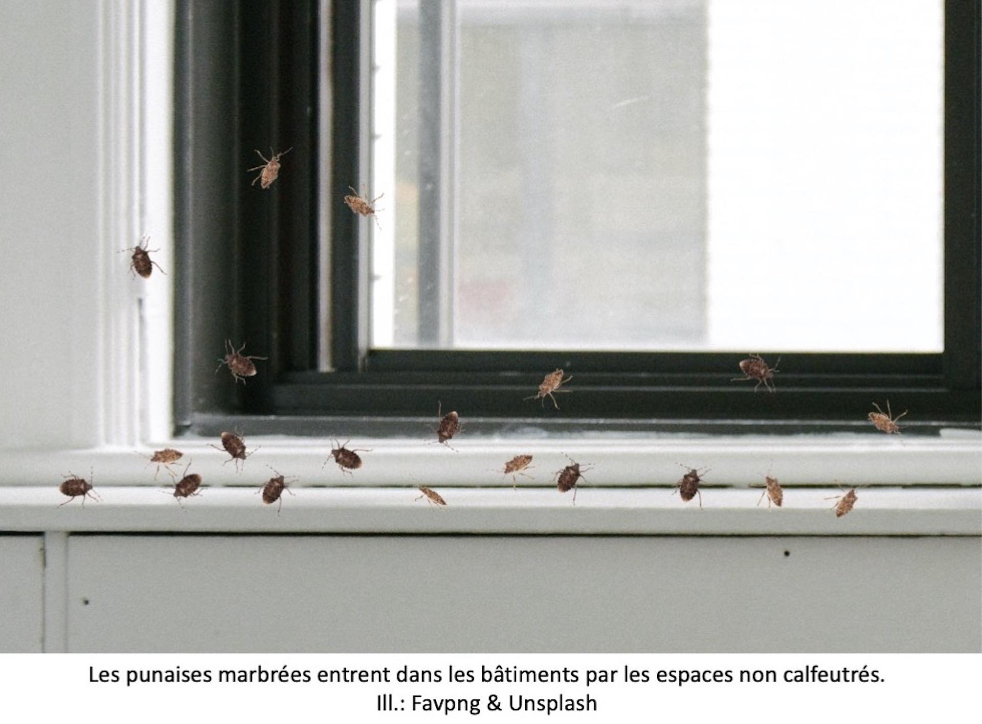 Punaises marbrées à la base d'une fenêtre.